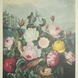 The roses,The Temple of Flora by Robert John Thornton
